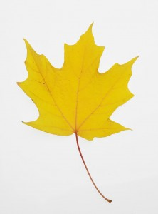 Yellow Maple Leaf --- Image by © Royalty-Free/Corbis